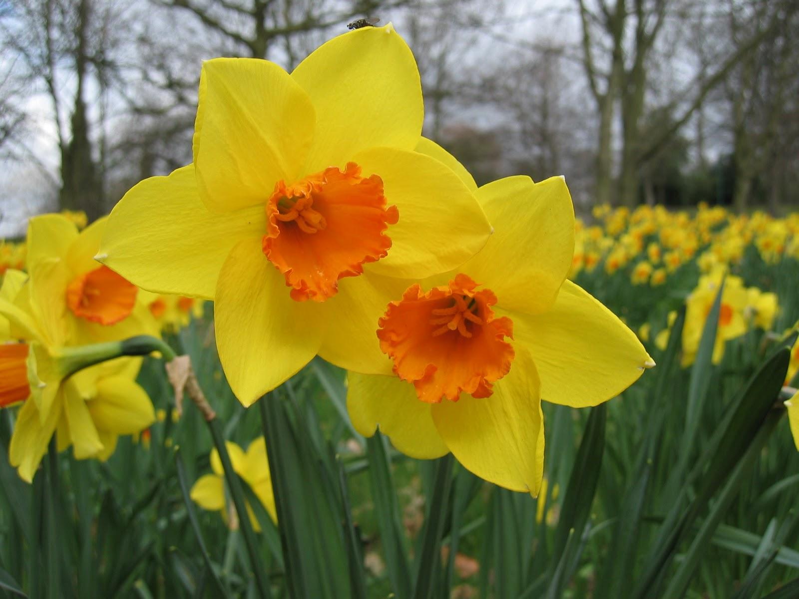 http://4.bp.blogspot.com/-g9nLgi8tk40/UIoma-FKSjI/AAAAAAAADZk/gRhhyMnNNgw/s1600/Daffodil-Flower-Picture-5.jpg