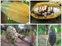 Cara Pengendalian Hama Penghisap Buah Kakao