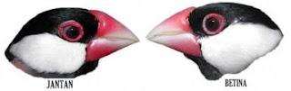 Burung Gelatik Tips Cara Mudah Membedakan Burung Gelatik Jantan Dan Betina