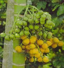 khasiat dan manfaat buah pinang bagi kesehatan