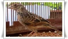 Burung terlihat susah untuk berkicau