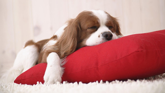 Sleeping dog on a red pillow wallpaper