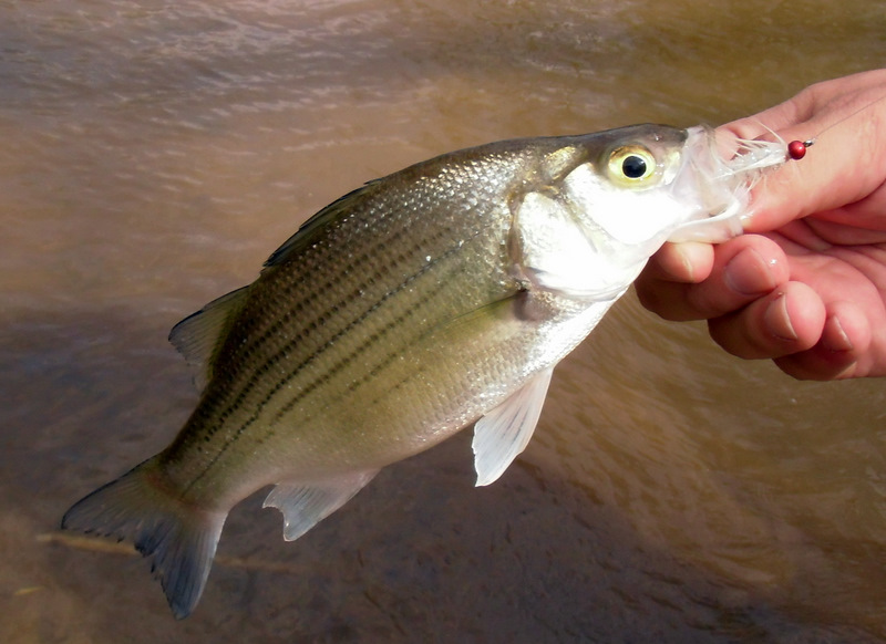 Feather chucker fishing with carolina fly for White bass fishing