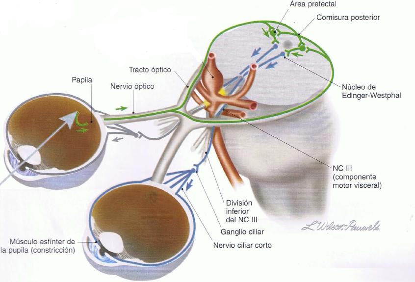 Neuraneuro iii par oculomotor o motor ocular com n for Cuarto par craneal