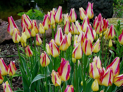 More beautiful tulips all set to open.
