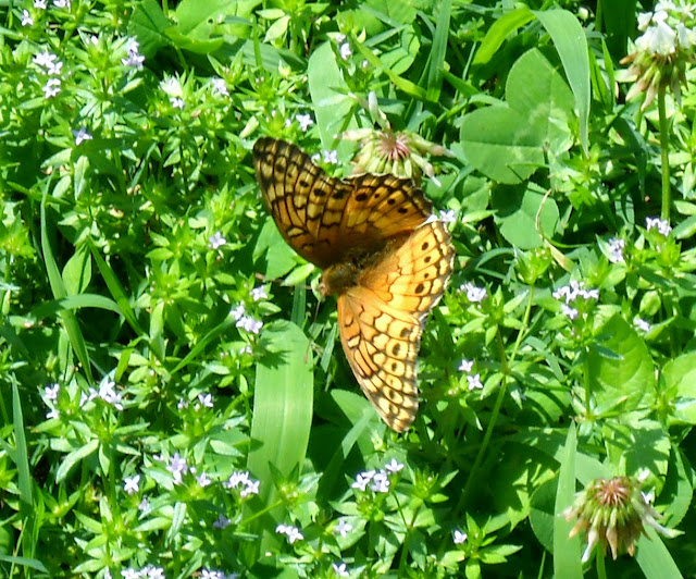 Variegated Fritillary (Euptoieta claudia) at White Rock Lake, Dallas, TX
