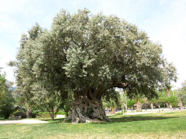 Gran olivo centenario
