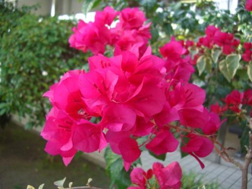Craft爺さんのブログ: ブーゲンビリアの花びら Craft爺さんの... Craft爺さんの