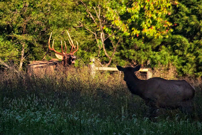Rutting Bull Elk and Cow