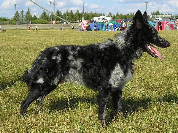 Mudi Dog For Sale Usa