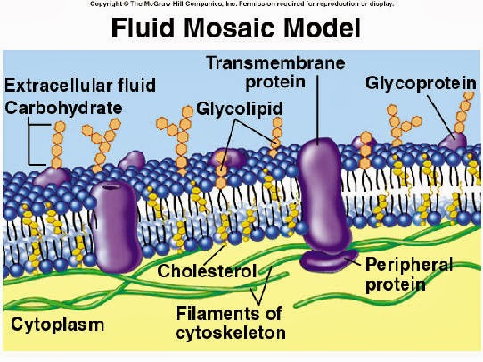 essays about fluid mosaic model Biological membranes are very small (7-10nm) at this size it is very hard to see the exact structure, even with an electron microscope we therefore don't know for sure exactly what's going.