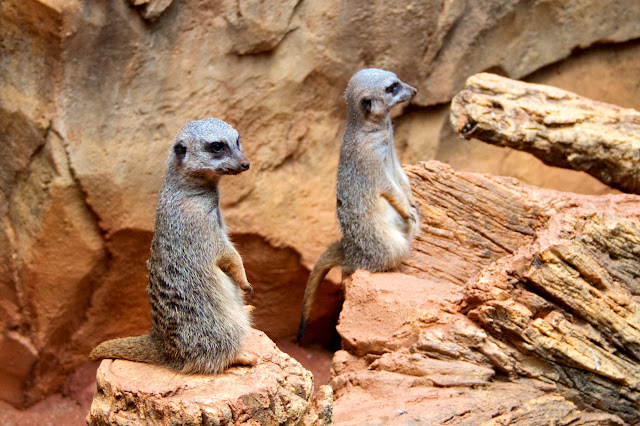 Meerkats. Tammy Sue Allen Photography - Lincoln Park Zoo, Chicago.