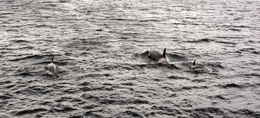 Beagle Canal orca