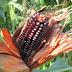C'era una volta. Conserviamo la biodiversità. Le varietà di mais piantate a Gandino.