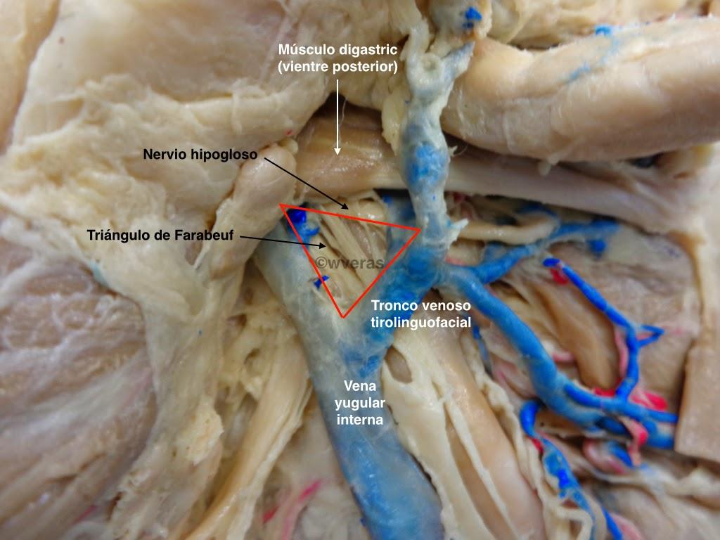 Triangulo de Farabeuf | Anatomiawveras/Anatomywveras