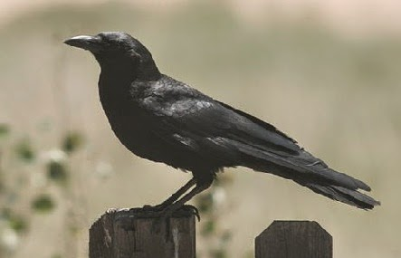 Burung Gagak pengicau