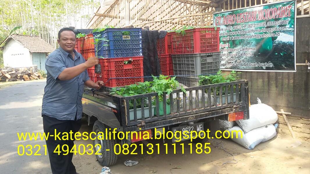 Melayani BIBIT PEPAYA CALIFORNIA