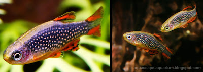 Tropical Fish for Aquarium Plants Rasbora Galaxy Rasboras