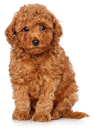 dog with curly hair dog breeds picture