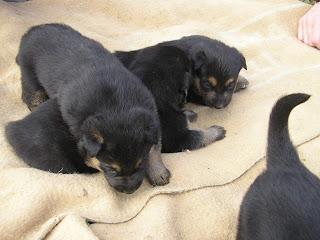 regalo cuccioli pastore tedesco