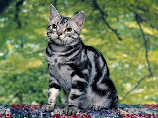 Download Free Beautiful Cat Wallpapers For An Android