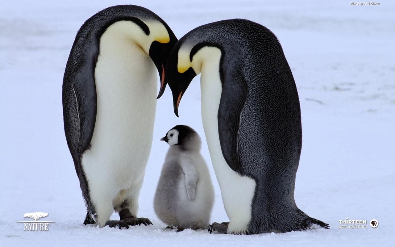 penguin wallpaper wallpapers - photo #9