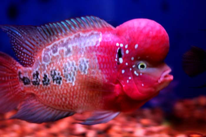 Flowerhorn the hybrid cichlids big head flowerhorn fish for Flowerhorn fish for sale