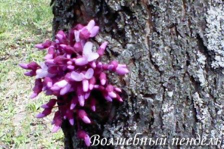 Чудо природы, весна, цветы, фотография ствола дерева на котором распустились цветы