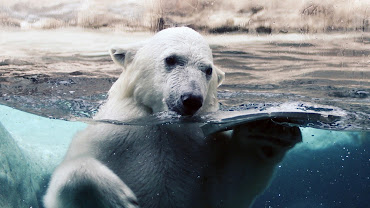 #10 Polar Bear Wallpaper