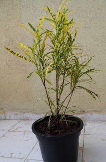 Growing Croton in container