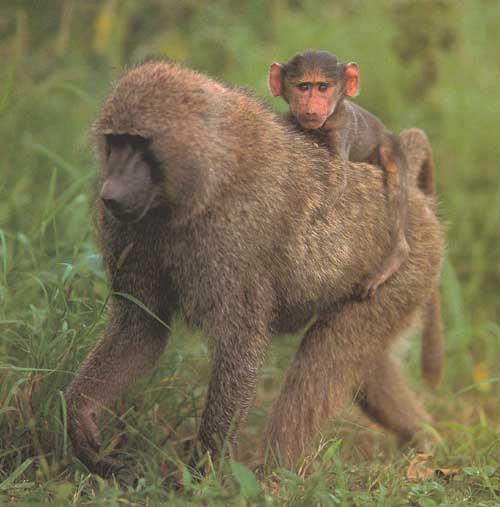 baboon animal wildlife Bad Monkey Clip Art Pink Pig Clip Art