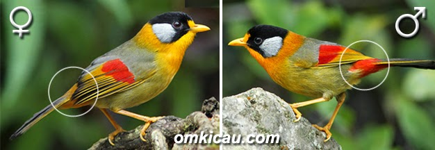 Foto Burung Pancawarna Terbaik