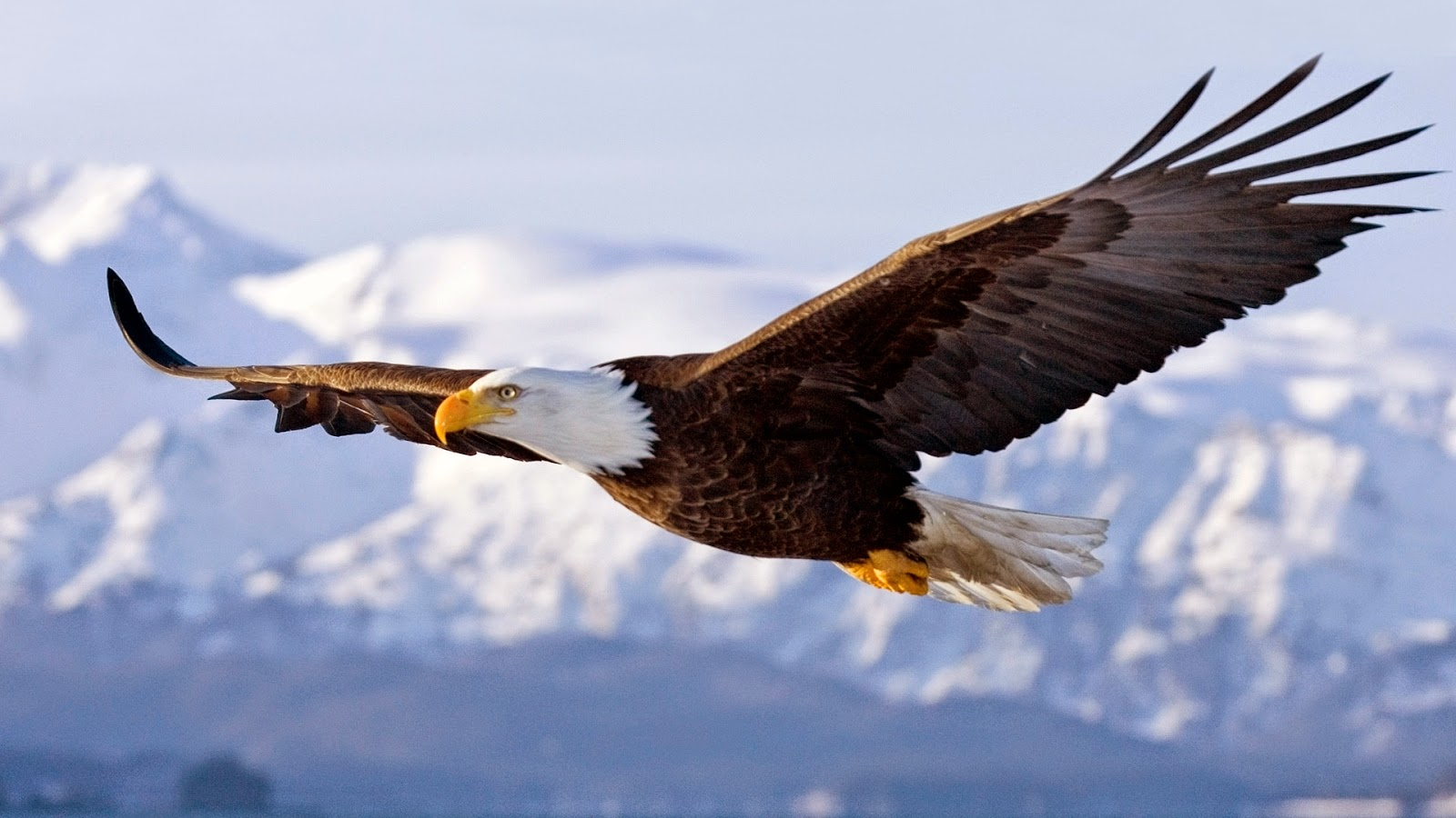 photograph of a bald eagle in flight