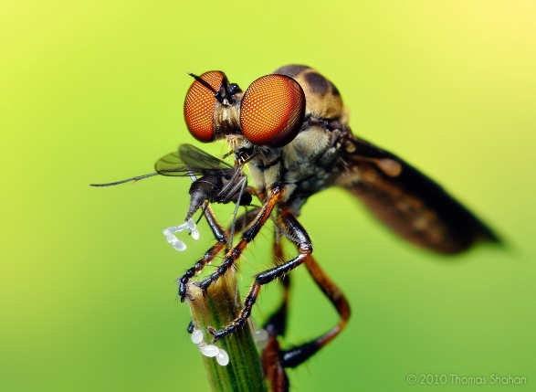 Robber Fly Thomas Sahan