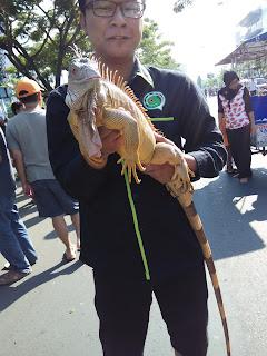 Mengenal Saigon (Sailfin Dragon), Reptil Asli Indonesia