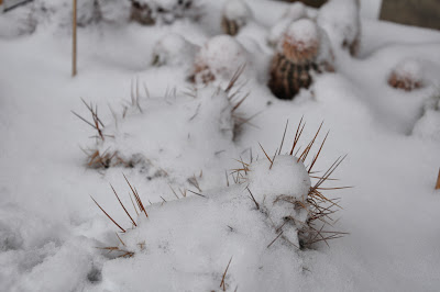 Echinocereus triglochidiatus covered by snow (with E. reichenbachii in the background)