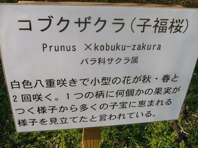 大阪府交野市・大阪市立大学 理学部付属 植物園 コブクザクラ