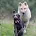 Ο σκύλος ο Σέρκο και ο λύκος...