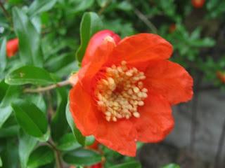 Yüksek Tansiyona Karşı Nar Çiçeği