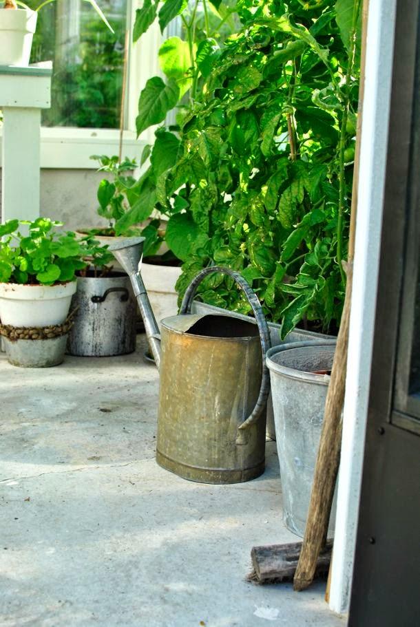 växthus zinkkanna tomatplantor