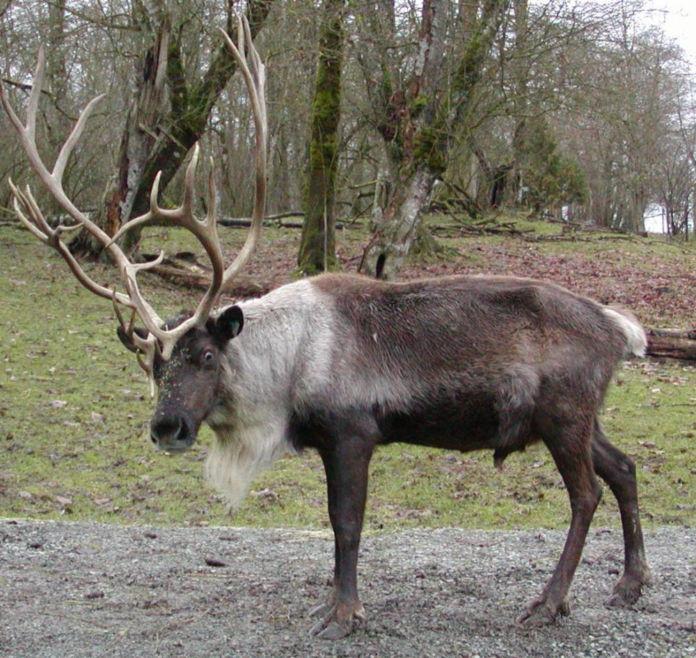 reindeer-213.jpg