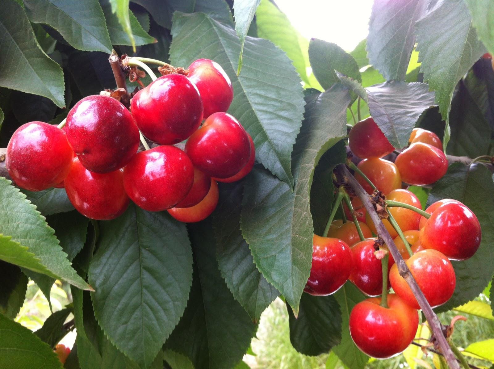 produce clerk the produce clerks handbook by rick chong how to handle rainier cherries