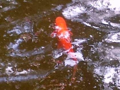 Там же живут большие красные рыбы