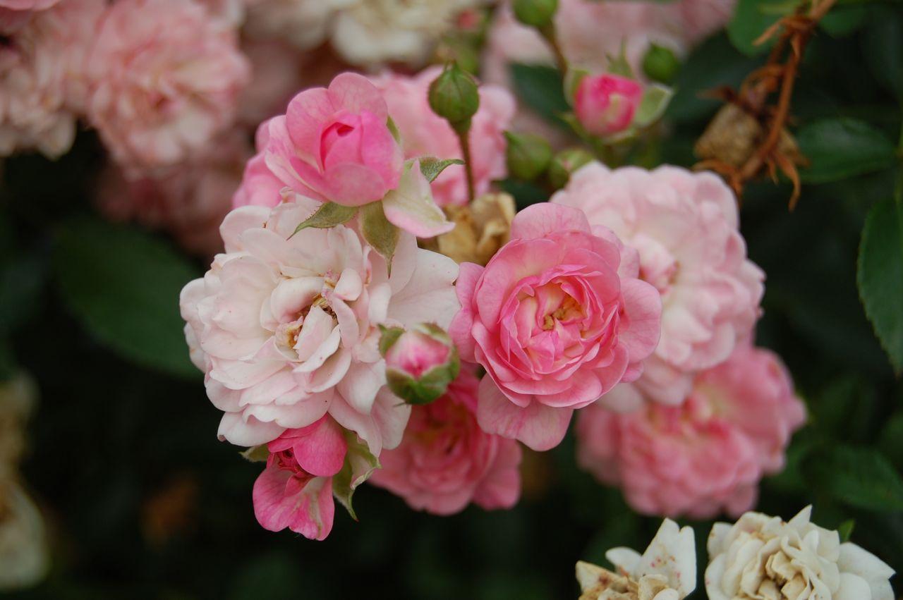 jeannie 39 s fairy rose louisiana garden fairy rose. Black Bedroom Furniture Sets. Home Design Ideas
