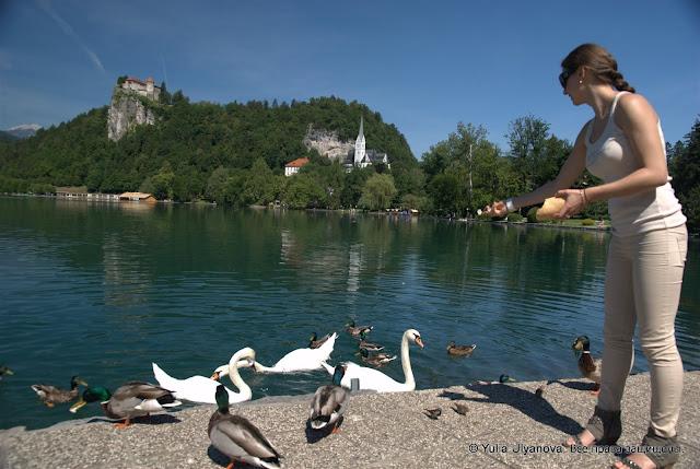 Кормлю птиц в Бледе, Словения