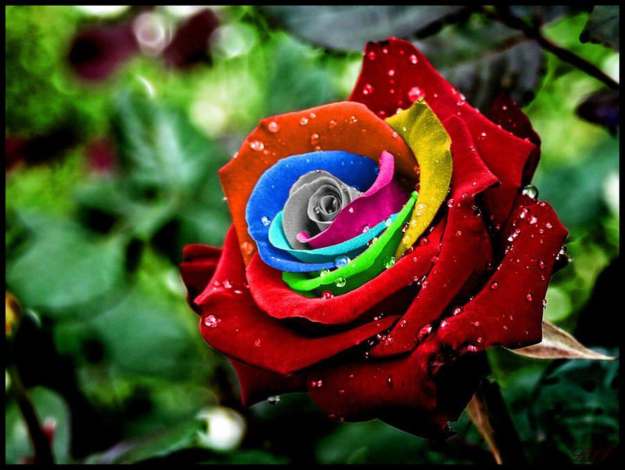 Rainbow rose for How much are rainbow roses