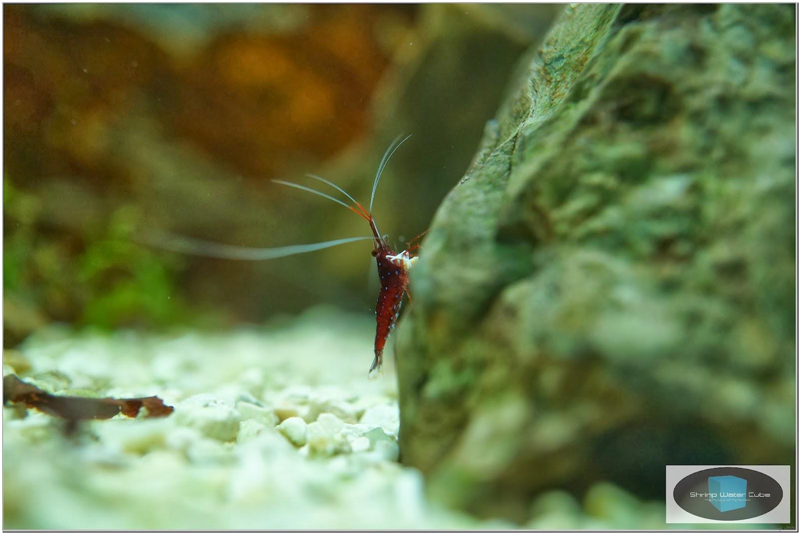 ... Shrimp Water Cube: Sulawesi Cardinal Shrimp (Caridina sp.