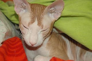Кот сфинкс метис