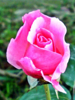 Pink Blooming Rose Bud