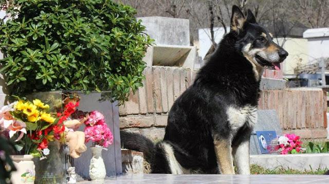 Capitán, un perro que permanece junto a la tumba de su amo